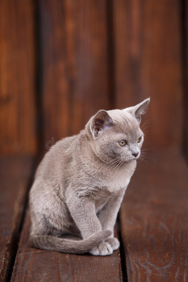 Breed of European Burmese cat, gray, sitting on a brown wooden background. And looks forward stock images