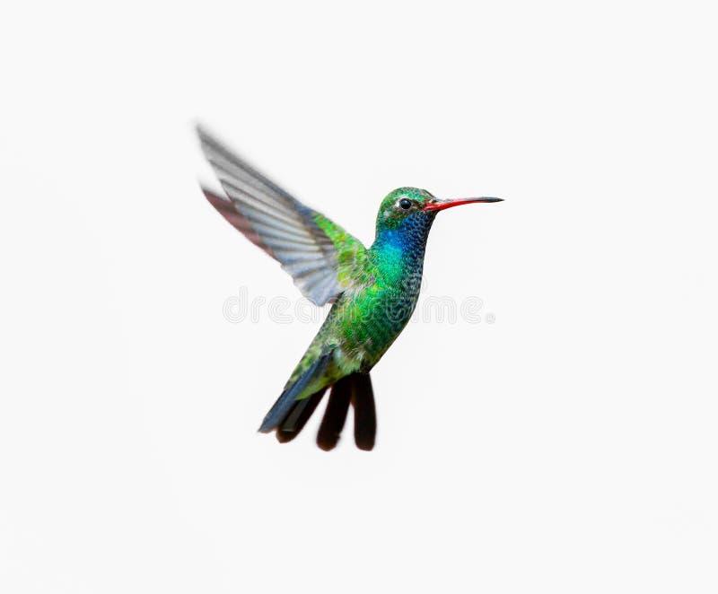 Breed Gefactureerd Kolibriemannetje stock foto