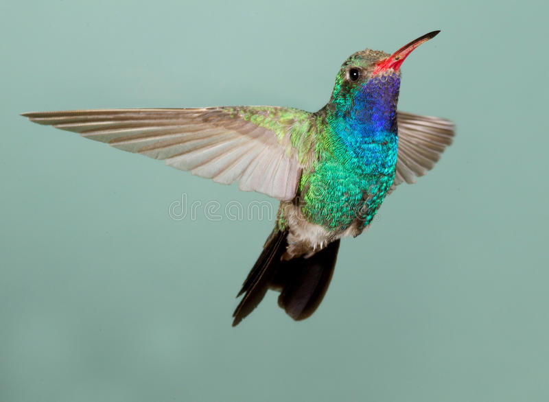 Breed-gefactureerde Kolibrie royalty-vrije stock afbeelding