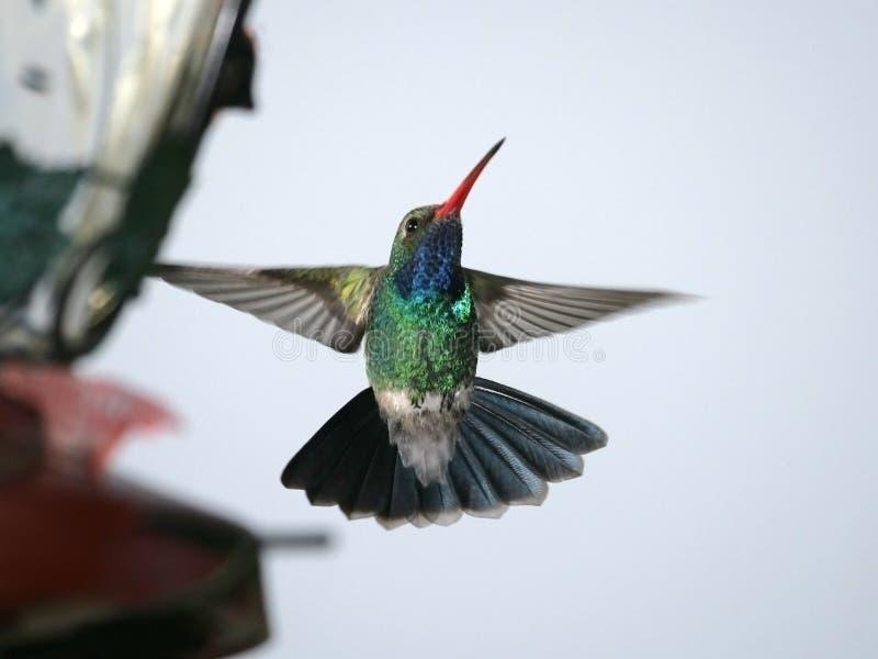 Breed-gefactureerde Kolibrie stock fotografie