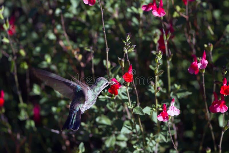 Breed-gefactureerde kolibrie, Cynanthus-latirostris stock foto's