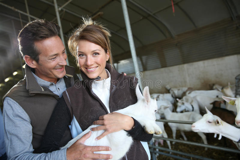 Breeders in farm holding a baby goat. Couple of breeders in barn carrying baby goat stock images