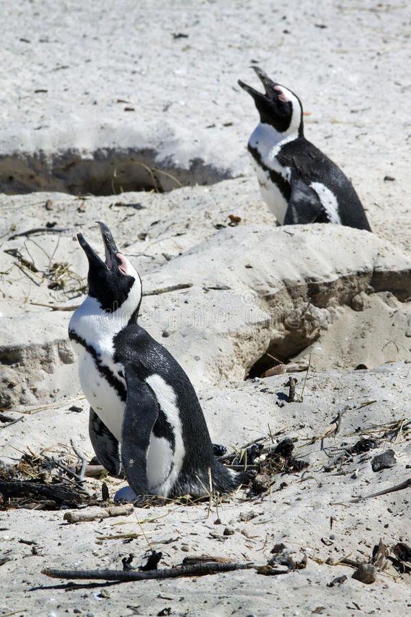 Download Breeding African Penguins At Boulders Beach, Cape Stock Photos - Image: 11921463