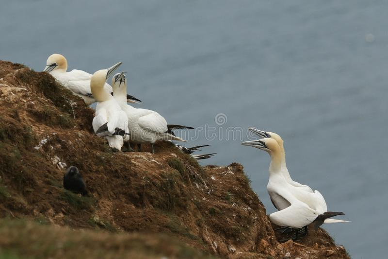 A breeding colony of magnificent Gannet, Morus bassanus, nesting on cliffs at Bempton Cliffs, Yorkshire. royalty free stock photo
