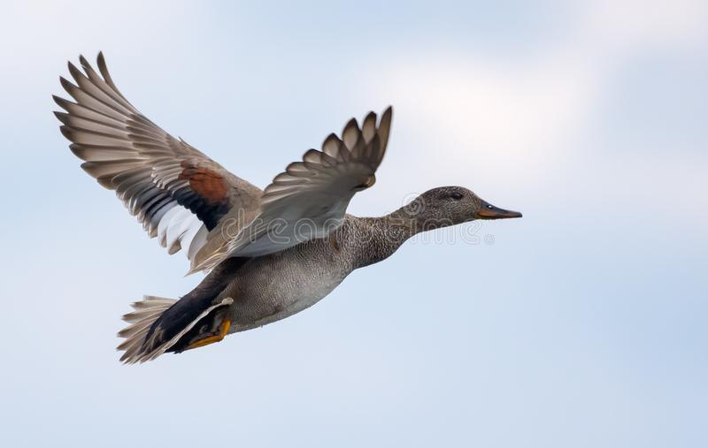 Breeding Drake gadwall in vlucht over lichtlucht in het voorjaar stock foto's