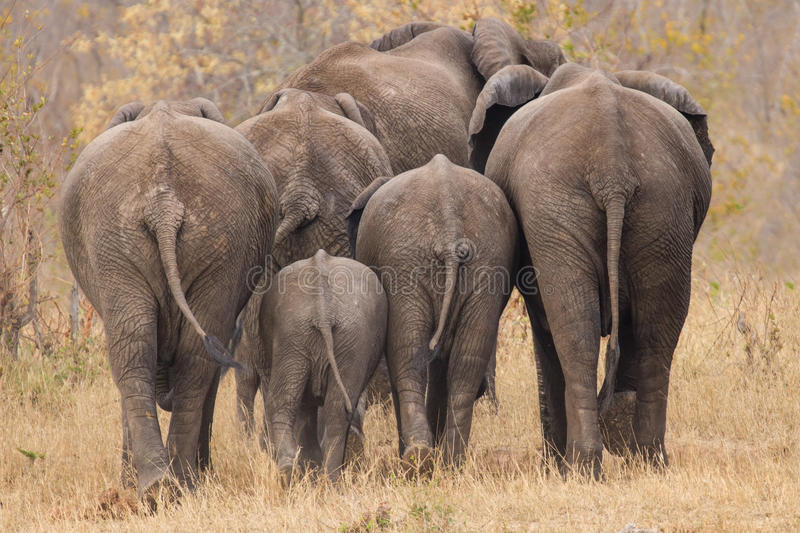 Breeding herd of elephant walking away int the trees. Breeding herd of rear end elephant walking away int the trees royalty free stock images