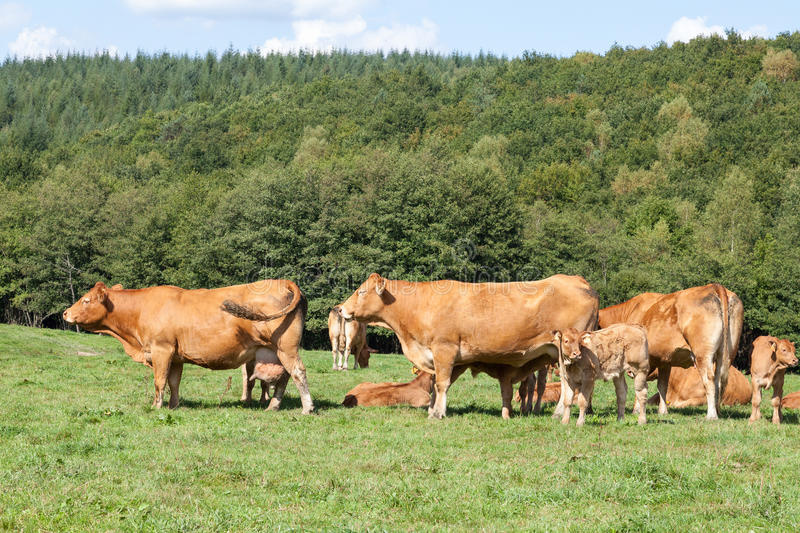 Breeding herd of Limousin beef cows with calves. Breeding herd of brown Limousin beef cows with calves in a pasture against a wooded hillside in evening light royalty free stock photos