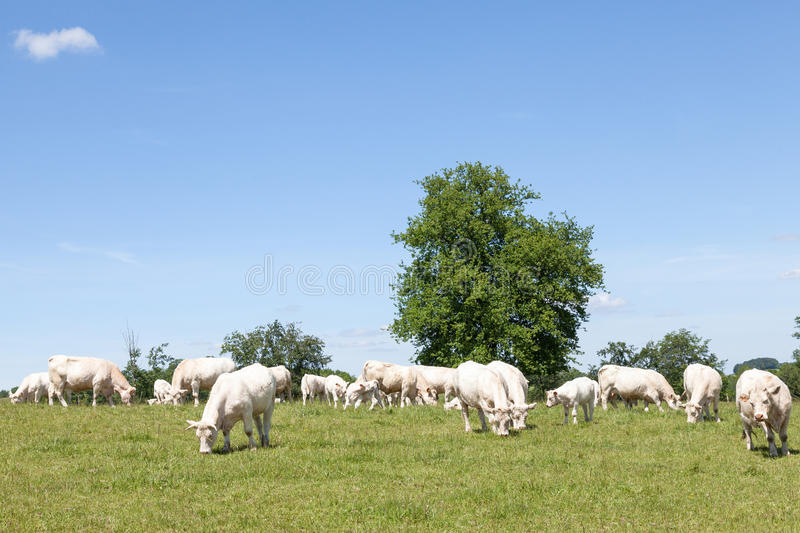 Breeding herd of white Charolais beef cattle grazing in a pastu. Re with cows and calves on a sunny spring day royalty free stock photo
