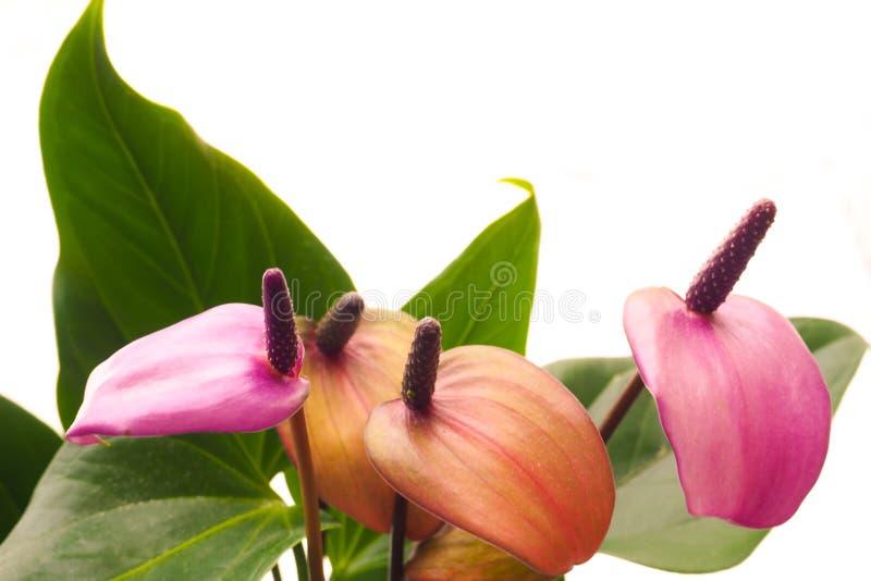 The breeding of indoor plants. Female gardener keeps anthurium flower. Anthurium flowers, close-up. Breeding plants stock image