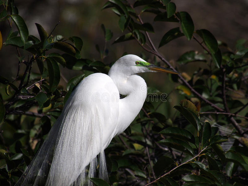 Breeding Male Great Egret. With green mask around eyes and full plumage stock images