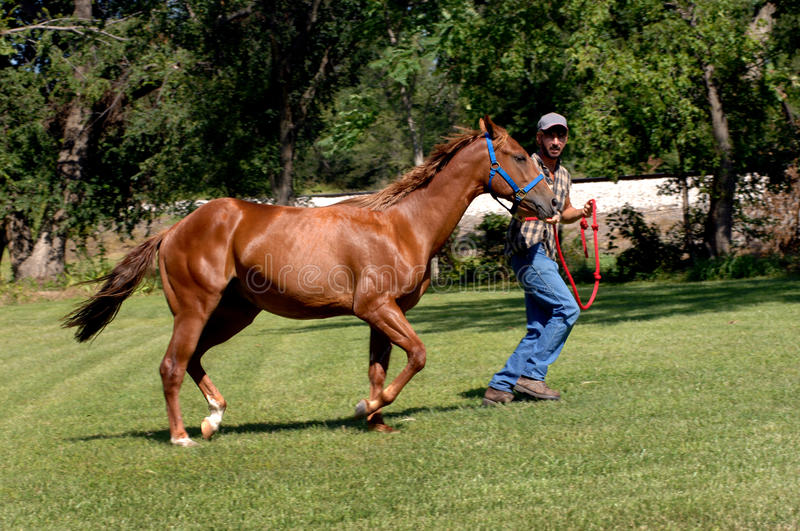 Breeding racers. Trainer puts quarter horse through his exercises as he runs him in a circle. Horse is being conditioned and trained for horse racing stock photography