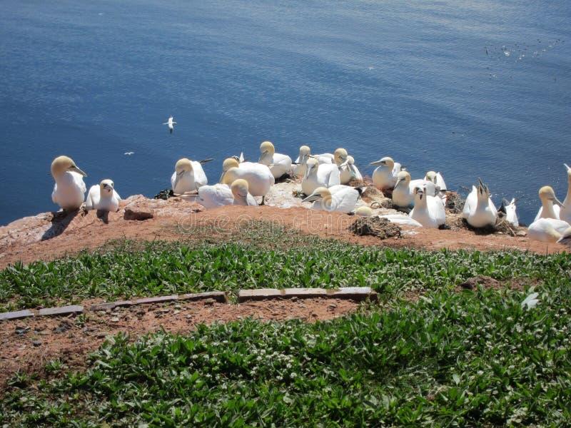 Breeding Sea Birds On The Island Stock Photos