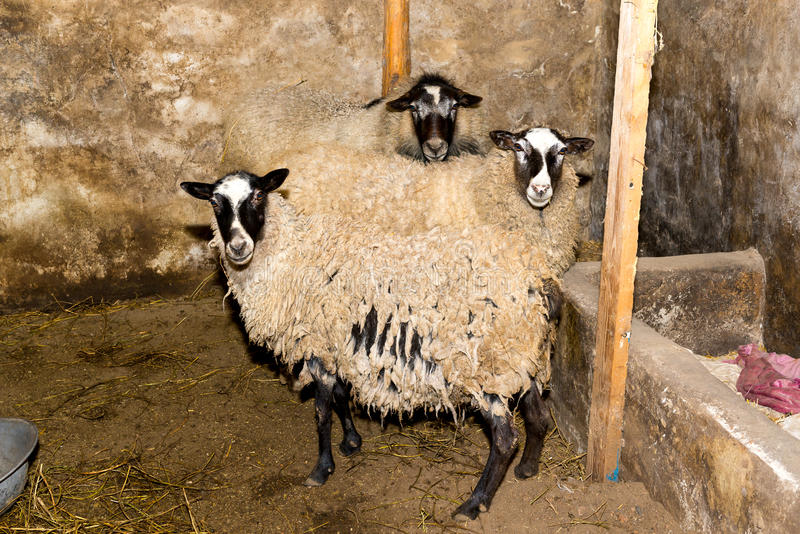 Breeding sheep on a farm. Sheep in the pen close-up. stock photo