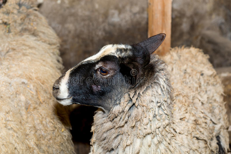 Breeding sheep on a farm. Sheep in the pen close-up. stock image