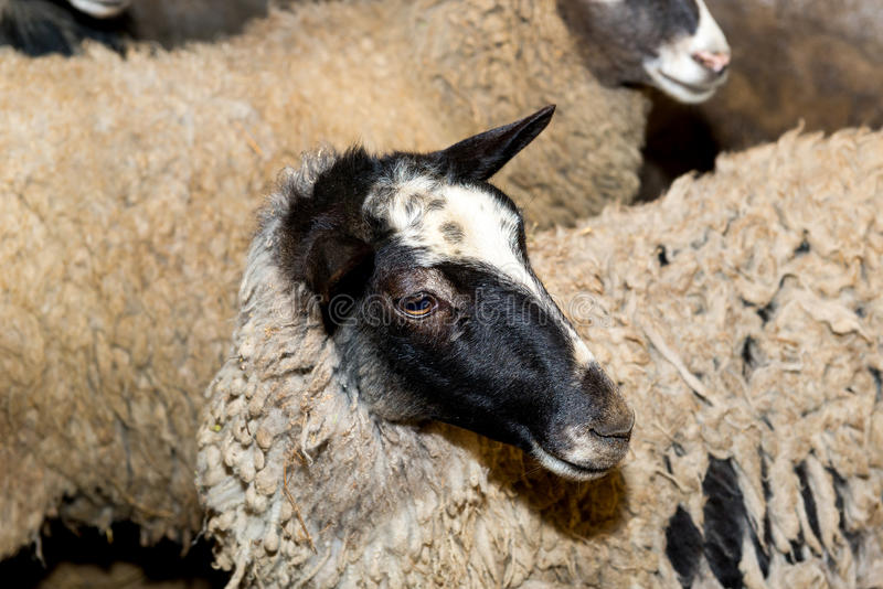 Breeding sheep on a farm. Sheep in the pen close-up. royalty free stock images