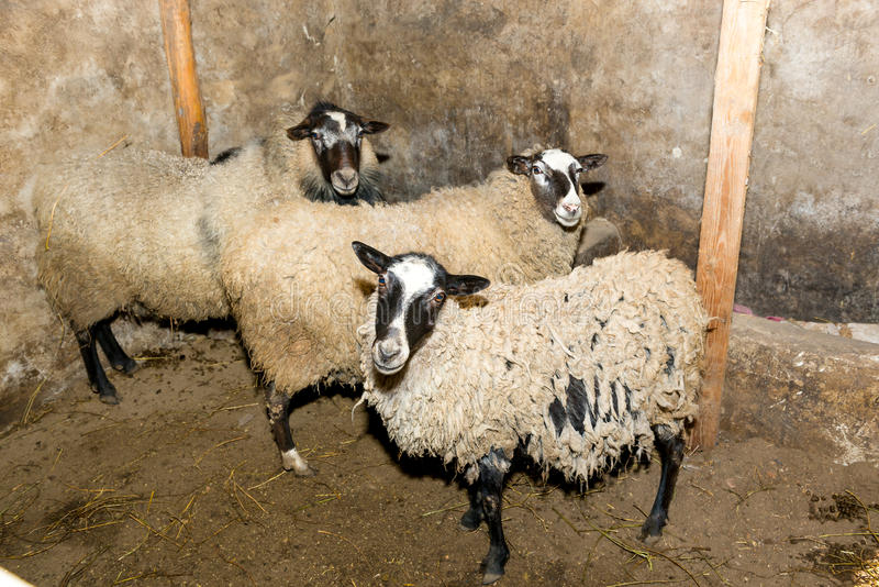 Breeding sheep on a farm. Sheep in the pen close-up. royalty free stock photography