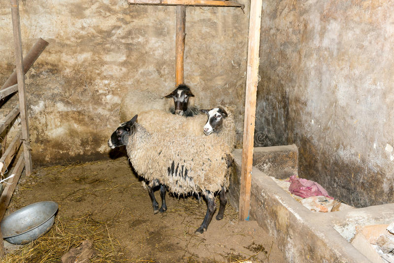 Breeding sheep on a farm. Sheep in the pen close-up. royalty free stock photo