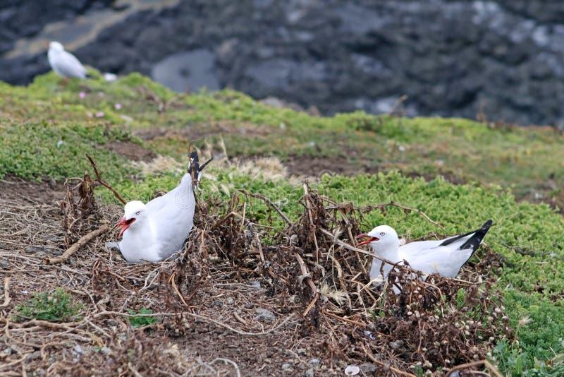 Download Breeding Silver Gulls stock image. Image of chroicocephalus - 23199179