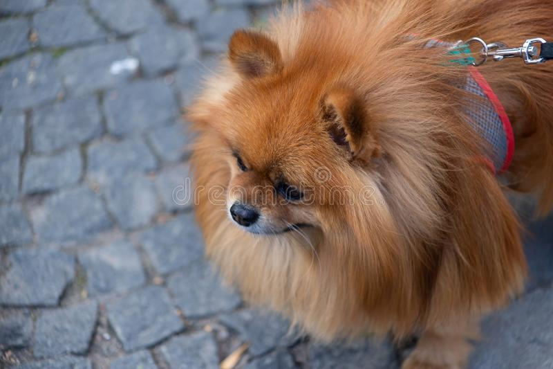 Breeds of domestic dogs. Pomeranian Spitz royalty free stock photos