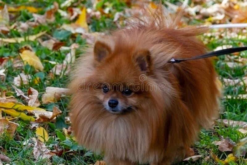Breeds of domestic dogs. Pomeranian Spitz royalty free stock photography