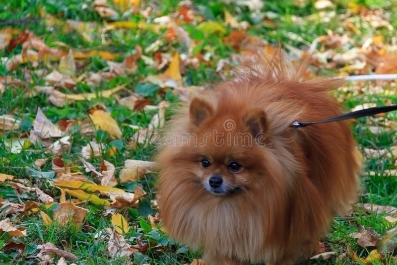 Breeds of domestic dogs. Pomeranian Spitz royalty free stock photo