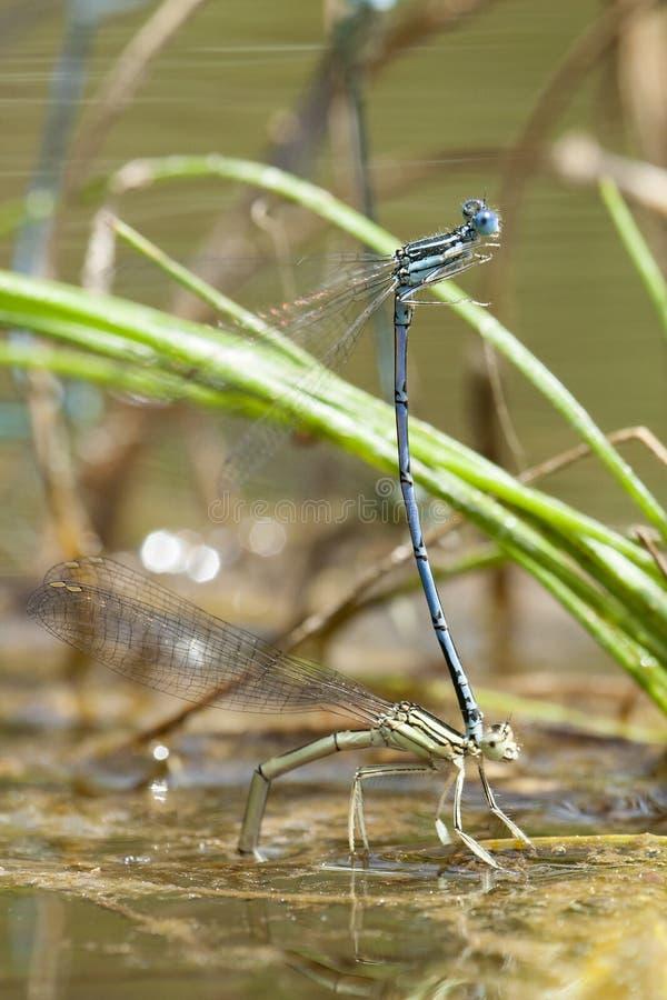 Breedscheenjuffer de Blauwe, Featherleg azul, pennipes de Platycnemis fotografia de stock
