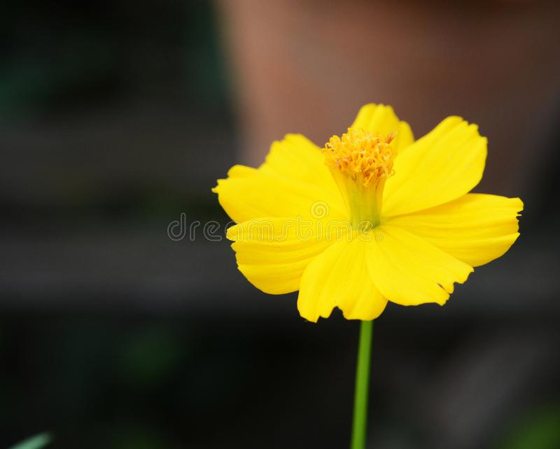 Breekbare gevoelige gele bloem royalty-vrije stock afbeelding