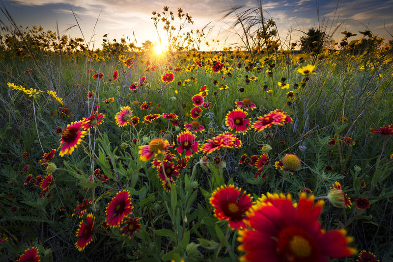 Breezy Dawn Over Texas Wildflowers. Bright sunflowers and Indian blanket flowers illuminated by a breezy dawn's first light royalty free stock photography