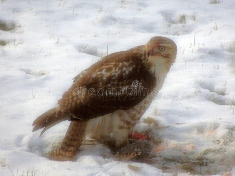 Breit-geflügelter Falke, der ein Eichhörnchen isst lizenzfreie stockfotos
