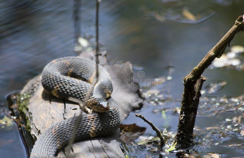 Breit-mit einem Band versehene Wasser-Schlange stockbild