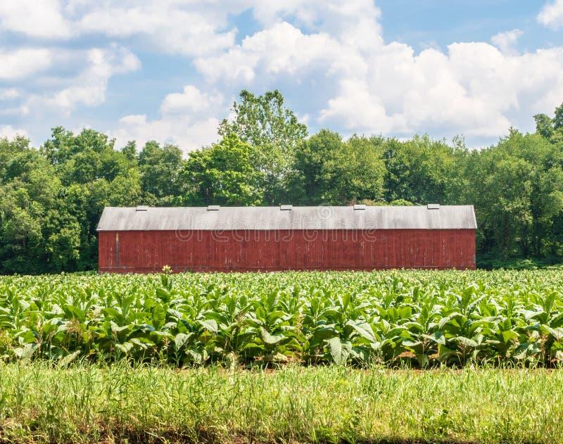 Breitblättriger Tabakanbau nahe typische Trockenapparate stockfotografie
