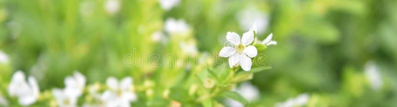 ` A breite Ansicht der weißen Blütenblume auf Grün lässt unscharfen Hintergrund stockfotografie