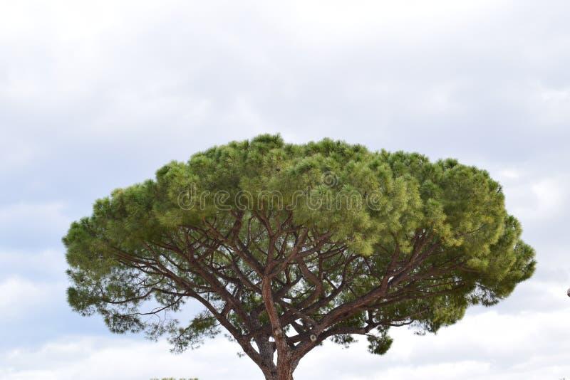 Breite Ansicht Pinus Pinea stockfoto