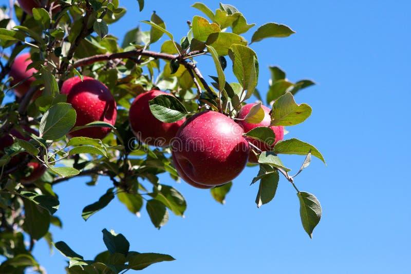 Breiten Sie sich mit roten Äpfeln gegen blauen Himmel aus. lizenzfreies stockfoto