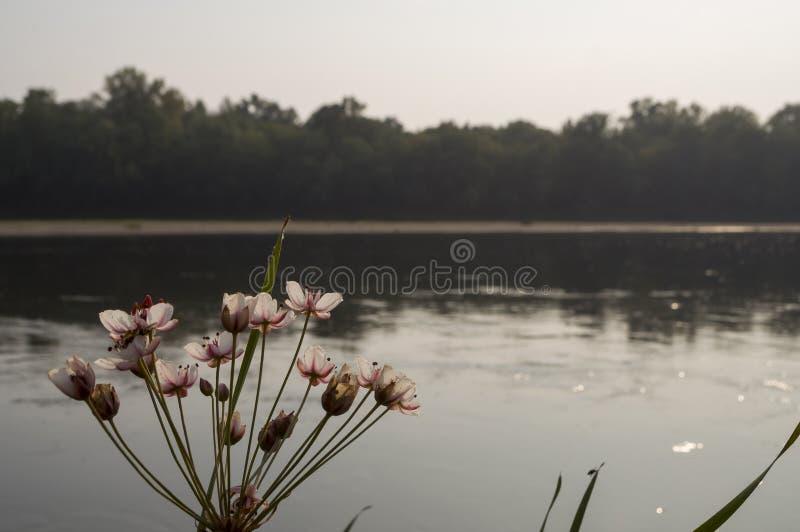 Breiter Fluss, der über grünen Waldfall fließt abend Reflexionen von Bäumen im ruhigen Wasser sonnenuntergang Blumenbinseblühen lizenzfreies stockfoto