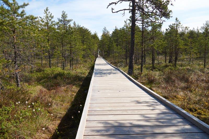 Breiter hölzerner Gehweg auf Sumpf Viru Raba in Estland, das zwischen Bäume von Kiefern geht lizenzfreies stockfoto