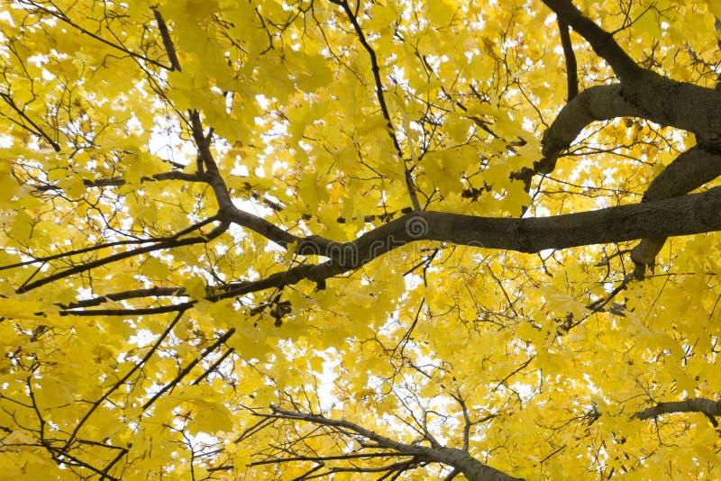 Breiter Schuss des hellen gelben und grünen Laubs der Espenbäume im Herbsteichenwald, Belgorod-Region in Süd-Russland lizenzfreies stockbild