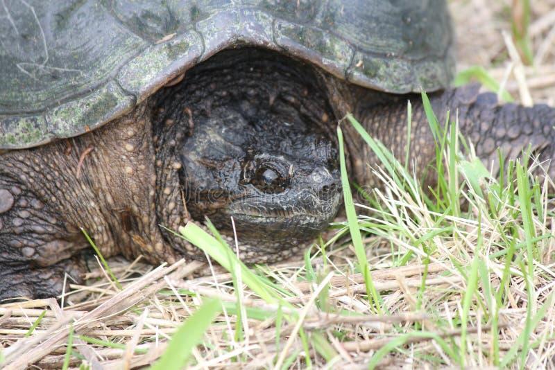 Brekende Gemeenschappelijke schildpad, - Chelydra-serpentina royalty-vrije stock foto