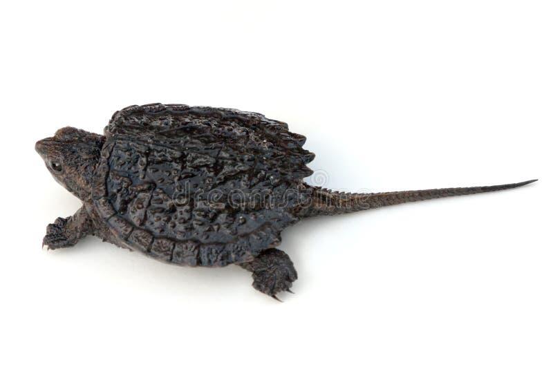 Brekende Schildpad royalty-vrije stock afbeelding