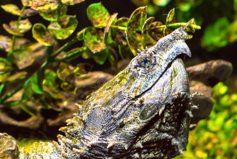 Brekende Schildpad - Chelydra-serpentina het Koppelen stock afbeeldingen