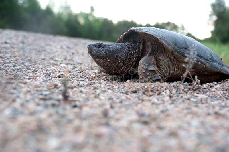 Brekende schildpad die eieren legt stock foto