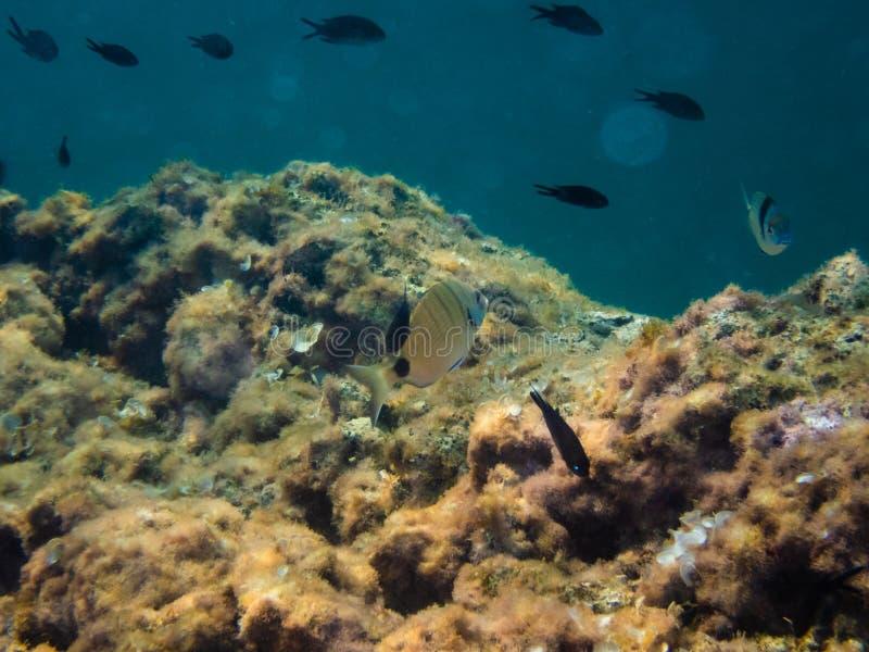 Brema marina y otros peces fotografía de archivo libre de regalías