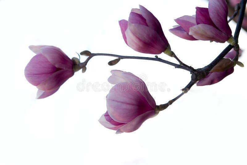 Brench do Magnolia isolado imagens de stock royalty free
