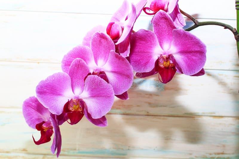 Brench rosa di phalaenopsis dell'orchidea su un fondo di legno Bei fiori dell'interno fotografie stock libere da diritti