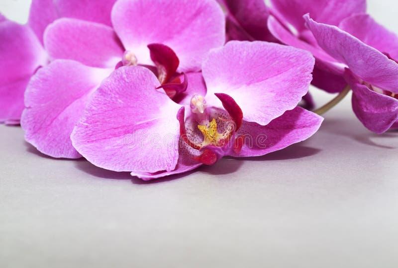 Brench rose de phalaenopsis d'orchidée sur un argent ou un fond de papier gris photographie stock libre de droits