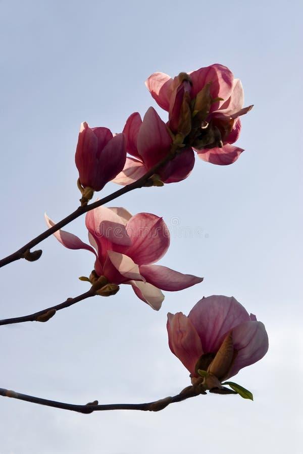 Brenches do Magnolia foto de stock royalty free