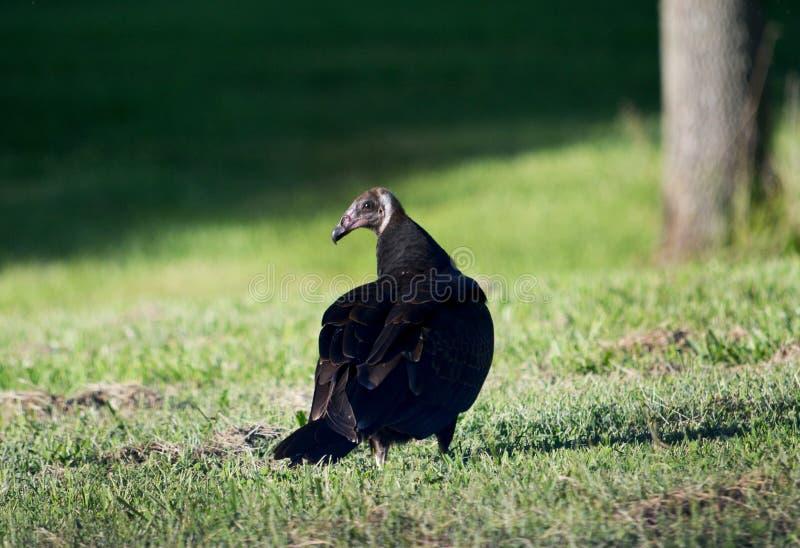 Brenda two. Brenda the turkey buzzard gives off a stern look royalty free stock photos