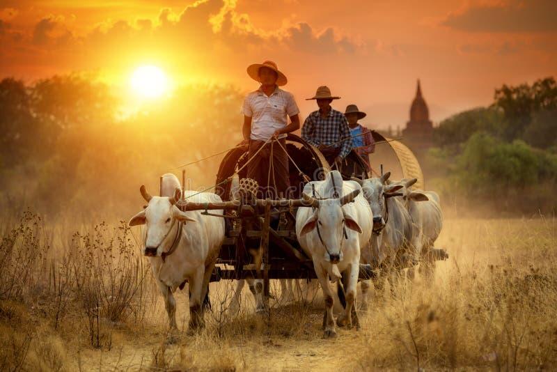 10 breng de kar van 2016 Myanmar Mandalay Bagan The traditiekoeien met in de war stock afbeeldingen