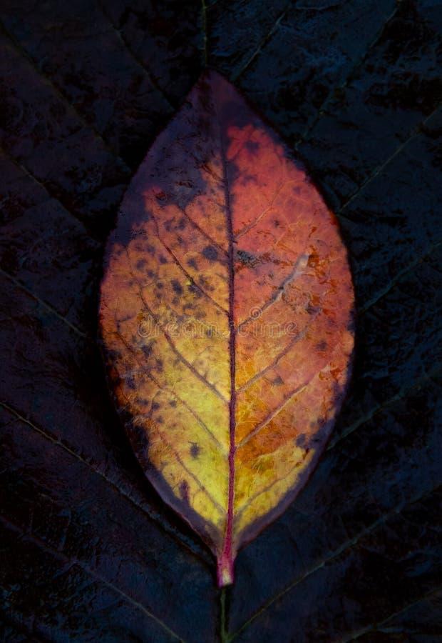 Brennende Farbe Herbstblatt der Farbe einer Flamme stockfotos
