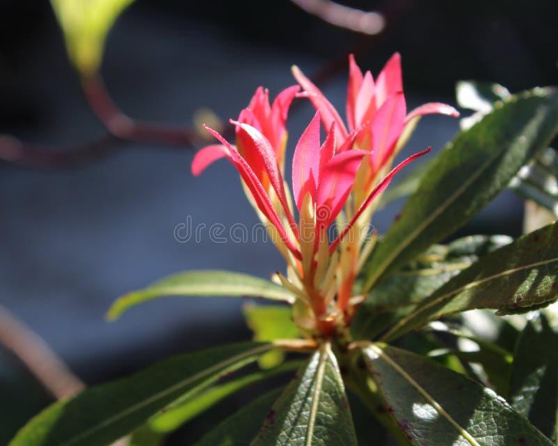 Brennendes rotes Pieris japonica lizenzfreies stockbild